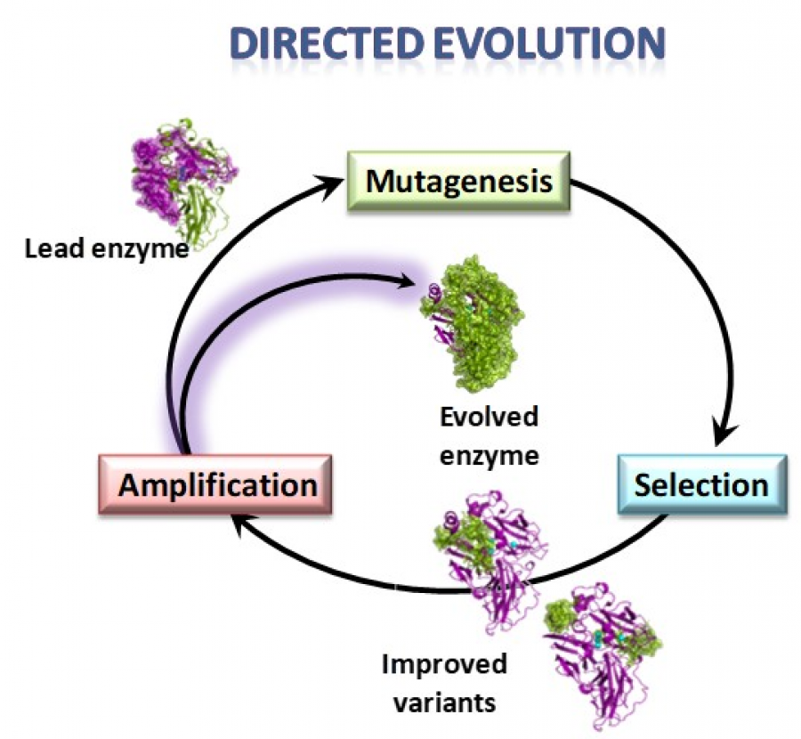 Enzyme Directed Evolution